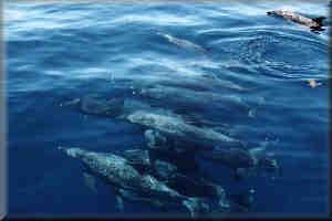 Porpoises Frollicking